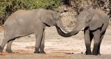ELEPHANT - AFRICAN ELEPHANT - FROLICKING IN THE CHOBE RIVER - CHOBE NATIONAL PARK BOTSWANA (47).JPG