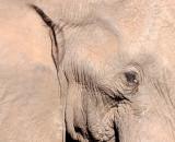 ELEPHANT - AFRICAN ELEPHANT - KRUGER NATIONAL PARK SOUTH AFRICA (11).JPG