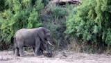 ELEPHANT - AFRICAN ELEPHANT - KRUGER NATIONAL PARK SOUTH AFRICA (3).JPG