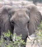 ELEPHANT - AFRICAN ELEPHANT - KRUGER NATIONAL PARK SOUTH AFRICA (47).JPG