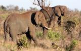 ELEPHANT - AFRICAN ELEPHANT - KRUGER NATIONAL PARK SOUTH AFRICA (55).JPG