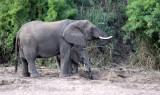 ELEPHANT - AFRICAN ELEPHANT - KRUGER NATIONAL PARK SOUTH AFRICA (6).JPG