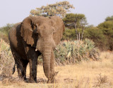 ELEPHANT - AFRICAN ELEPHANT - OLD BULL - BWABWATA NATIONAL PARK NAMIBIA.JPG