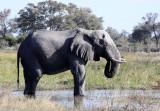 ELEPHANT - AFRICAN ELEPHANT - OLD BULL - KHWAI CAMP - OKAVANGO (5).JPG