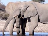 ELEPHANT - AFRICAN ELEPHANT - WHITE DESERT FORM - ETOSHA NATIONAL PARK NAMIBIA (13).JPG
