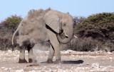 ELEPHANT - AFRICAN ELEPHANT - WHITE DESERT FORM - ETOSHA NATIONAL PARK NAMIBIA (28).JPG