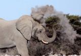 ELEPHANT - AFRICAN ELEPHANT - WHITE DESERT FORM - ETOSHA NATIONAL PARK NAMIBIA (39).JPG