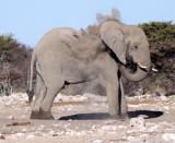 ELEPHANT - AFRICAN ELEPHANT - WHITE DESERT FORM - ETOSHA NATIONAL PARK NAMIBIA (44).JPG