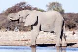 ELEPHANT - AFRICAN ELEPHANT - WHITE DESERT FORM - ETOSHA NATIONAL PARK NAMIBIA (47).JPG