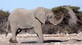 ELEPHANT - AFRICAN ELEPHANT - WHITE DESERT FORM - ETOSHA NATIONAL PARK NAMIBIA (50).JPG