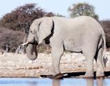 ELEPHANT - AFRICAN ELEPHANT - WHITE DESERT FORM - ETOSHA NATIONAL PARK NAMIBIA.JPG
