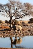 ELEPHANT - AFRICAN ELEPHANT - WHITE VARIETY - ETOSHA NATIONAL PARK NAMIBIA (3).JPG