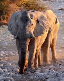 ELEPHANT - AFRICAN ELEPHANT - WHITE VARIETY - ETOSHA NATIONAL PARK NAMIBIA (36).JPG