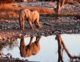 ELEPHANT - AFRICAN ELEPHANT - WHITE VARIETY - ETOSHA NATIONAL PARK NAMIBIA (45).JPG