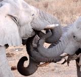 ELEPHANT - AFRICAN ELEPHANT - WHITE VARIETY - ETOSHA NATIONAL PARK NAMIBIA (53).JPG