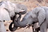 ELEPHANT - AFRICAN ELEPHANT - WHITE VARIETY - ETOSHA NATIONAL PARK NAMIBIA (54).JPG