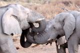 ELEPHANT - AFRICAN ELEPHANT - WHITE VARIETY - ETOSHA NATIONAL PARK NAMIBIA (55).JPG