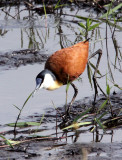 BIRD - JACANA - AFRICAN JACANA - SAINT LUCIA NATURE RESERVES SOUTH AFRICA (2).JPG