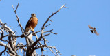 BIRD - KESTREL - LESSER KESTREL - FALCO NAUMANNI - KGALAGADI NATIONAL PARK RSA (6).JPG