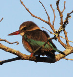 BIRD - KINGFISHER - BROWN-HOODED KINGFISHER - HALCYON ALBIVENTRIS - IMFOLOZI NATIONAL PARK SOUTH AFRICA (8).JPG
