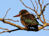 BIRD - KINGFISHER - BROWN-HOODED KINGFISHER - HALCYON ALBIVENTRIS - IMFOLOZI NATIONAL PARK SOUTH AFRICA.JPG