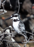 BIRD - KINGFISHER - PIED KINGFISHER - CHOBE NATIONAL PARK BOTSWANA (4).JPG