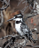 BIRD - KINGFISHER - PIED KINGFISHER - CHOBE NATIONAL PARK BOTSWANA (5).JPG