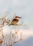 BIRD - KINGFISHER - STRIPED KINGFISHER - HALCYON CHELICUTI - SAINT LUCIA NATURE RESERVES SOUTH AFRICA.JPG