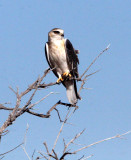 BIRD - KITE - BLACK-SHOULDERED KITE - ETOSHA NATIONAL PARK NAMIBIA (9).JPG