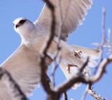 BIRD - KITE - BLACK-SHOULDERED KITE - KGALAGADI NATIONAL PARK SOUTH AFRICA (2).JPG