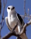 BIRD - KITE - BLACK-SHOULDERED KITE - KGALAGADI NATIONAL PARK SOUTH AFRICA.JPG