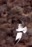 BIRD - KITE - BLACK-SHOULDERED KITE - PILANESBERG NATIONAL PARK SOUTH AFRICA (6).JPG