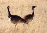BIRD - KORHAAN - RUPELL'S KORHAAN - DAMARALAND, NAMIBIA (14).JPG