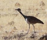 BIRD - KORHAAN - RUPPELL'S KORHAAN - EUPODOTIS REUPELLII - DAMARALAND, NAMIBIA (4).JPG