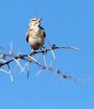 BIRD - LARK - SABOTA LARK - CALENDULAUDA SABOTA - ETOSHA NATIONAL PARK NAMIBIA (2).JPG
