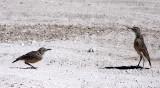 BIRD - LARK - SPIKE-HEELED LARK - CHERSOMANES ALBOFASCIATA - ETOSHA NATIONAL PARK NAMIBIA (4).JPG
