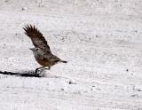 BIRD - LARK - SPIKE-HEELED LARK - CHERSOMANES ALBOFASCIATA - ETOSHA NATIONAL PARK NAMIBIA (8).JPG