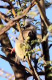 BIRD - MOUSEBIRD - WHITE-BACKED MOUSEBIRD - COLIUS COLIUS - AUGRABIES FALLS SOUTH AFRICA.JPG