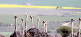 BIRD - OSTRICH - COMMON OSTRICH - ALONG GARDEN ROUTE SOUTH AFRICA.JPG