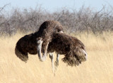 BIRD - OSTRICH - COMMON OSTRICH - MATING IN ETOSHA - ETOSHA NATIONAL PARK NAMIBIA (10).JPG