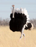 BIRD - OSTRICH - COMMON OSTRICH - MATING IN ETOSHA - ETOSHA NATIONAL PARK NAMIBIA (16).JPG