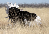 BIRD - OSTRICH - COMMON OSTRICH - MATING IN ETOSHA - ETOSHA NATIONAL PARK NAMIBIA (21).JPG