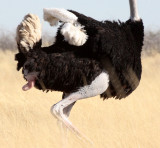 BIRD - OSTRICH - COMMON OSTRICH - MATING IN ETOSHA - ETOSHA NATIONAL PARK NAMIBIA (33).JPG
