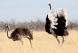BIRD - OSTRICH - COMMON OSTRICH - MATING IN ETOSHA - ETOSHA NATIONAL PARK NAMIBIA (8).JPG