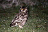 BIRD - OWL - EAGLE OWL - CAPE EAGLE OWL - BUBO CAPENSIS - DE HOOP RESERVE SOUTH AFRICA (5).JPG