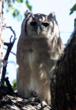 BIRD - OWL - EAGLE OWL - GIANT OR VERREAUX'S GIANT EAGLE OWL - BUBO LACTEUS - KRUGER NATIONAL PARK SOUTH AFRICA (11).JPG