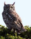 BIRD - OWL - EAGLE OWL - SPOTTED EAGLE OWL - WEST COAST NATIONAL PARK SOUTH AFRICA (2).JPG