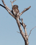 BIRD - OWL - PEARL-SPOTTED OWL - KRUGER NATIONAL PARK SOUTH AFRICA (10).JPG