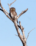 BIRD - OWL - PEARL-SPOTTED OWL - KRUGER NATIONAL PARK SOUTH AFRICA (3).JPG