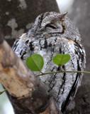 BIRD - OWL - SCOPS-OWL - AFRICAN SCOPS-OWL - OTUS SENEGALENSIS - KRUGER NATIONAL PARK SOUTH AFRICA (3).JPG